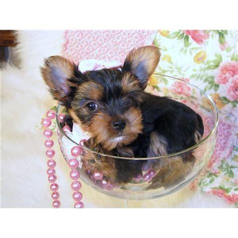 yorkie puppies toronto teacup yorkie puppies toronto dogs for sale