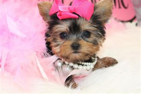 teacup yorkie edmonton yorkies tiny yorkie boston teacup tea cup mini yorkies breeds picture