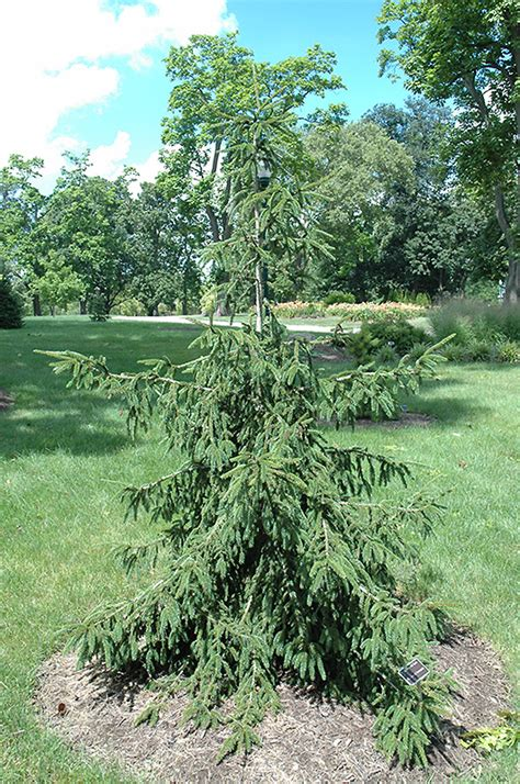 gold tipped oriental spruce picea orientalis