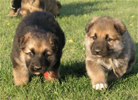 german shepherd great pyrenees mix puppies pups for sale