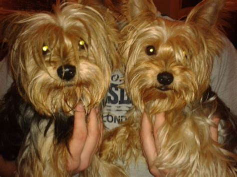 yorkie terrier for free yorkie free to home breeds picture