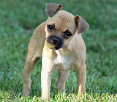 rat terrier and pug mix pug rat terrier mix breed picture breeds picture