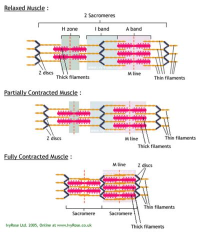 filament diagram topic 4 movement analysis ib