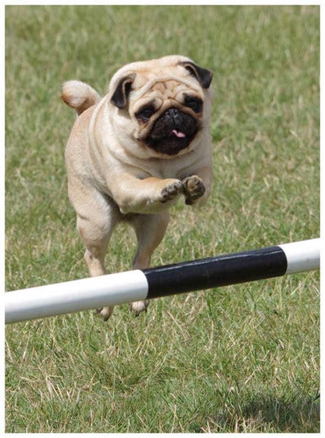 pug jumping jumping pug
