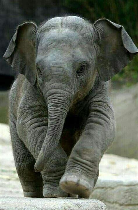 baby elephants ideas  pinterest baby elephant