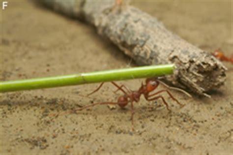 Gelbe Ameisen Im Garten 3820 by Ameisen Im Garten Bek 228 Mpfen Hausgarten Net