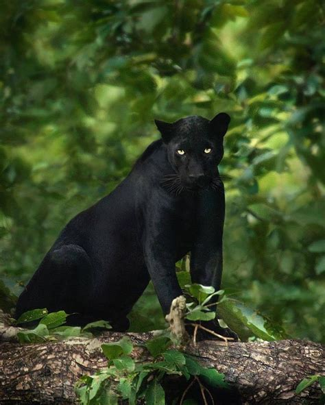 all black jaguar best 25 black jaguar ideas on black jaguar