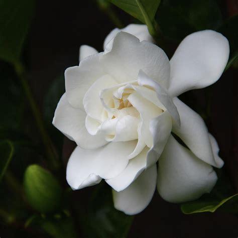 Gardenia Images by Gardenia Ii By Kerri Ligatich