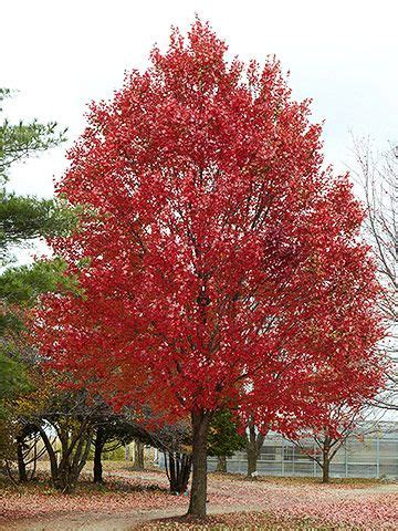 acer rubrum maple height 49 spread 39 10 year tree stands at around 20