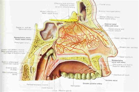 anatomy of human nose nose human anatomy organs template baldaivirtuves info human sinus anatomy anatomy of nasal sinuses human anatomy nose diagram coordstudenti