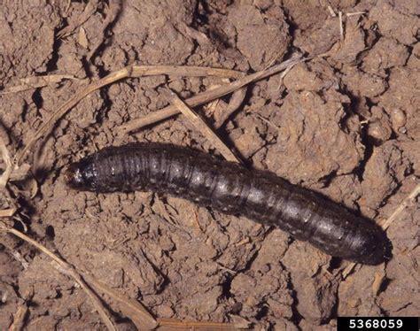 Caterpillar Low Midle Brown agrotis ipsilon soybean bugwoodwiki