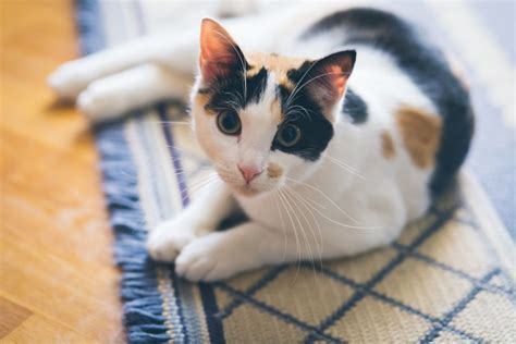 naming your calico cat name ideas for calico cats page 1 calico cats photo gallery colorful tri colored cats
