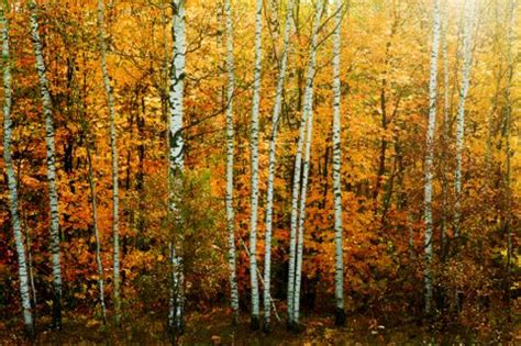 photos of white birch trees in the fall the best trees