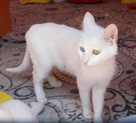Vans Kitten cat