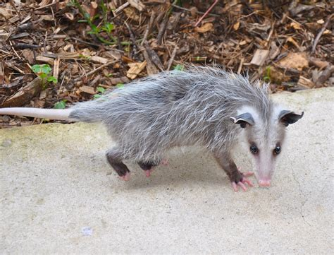 Possum Backyard by Are Possums Dangerous Jan 2018 A Closer Look At This