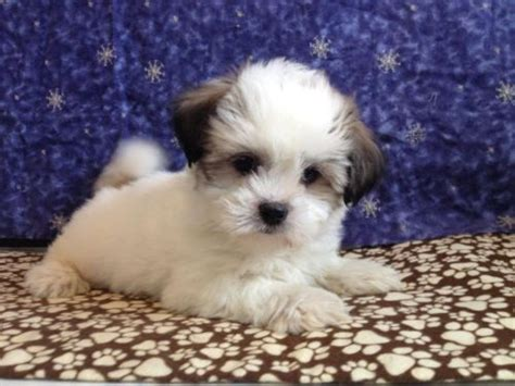 bichon shih tzu mix expectancy 17 best ideas about teddy puppies on teddy dogs small dogs