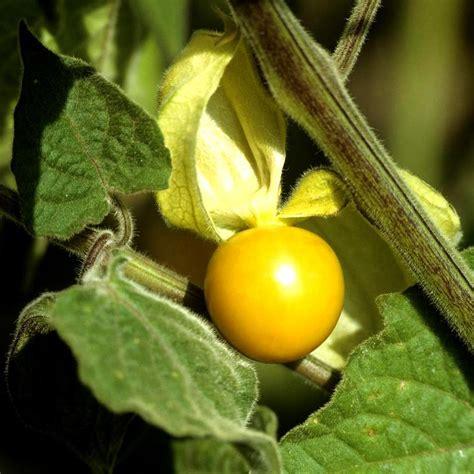 Physalis En Pot by Physalis Planter Et Cultiver Ooreka