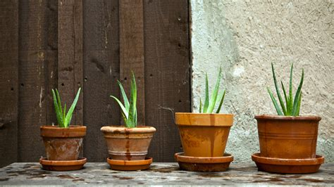 aloe coltivazione in vaso aloe vera coltivazione e caratteristiche della pianta
