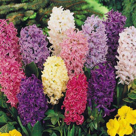 giacinti in vaso il giacinto bulbi coltivare giacinto