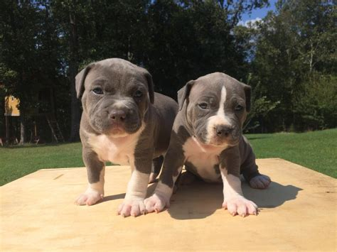 pitbull puppies for sale in los angeles american pit bull terrier puppies for sale los angeles ca 269582