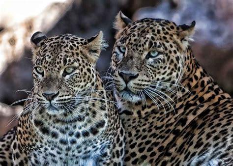 imagenes de tigres leones y leopardos pareja de leopardos panthera pardus galer 237 as