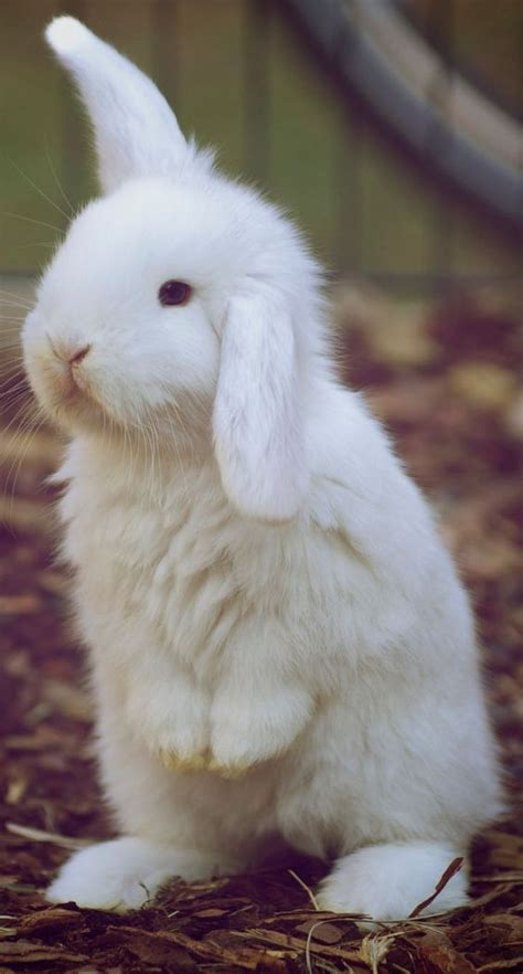Bunny White white bunnies bunnies and white rabbits on