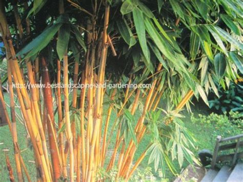 Bibit Bambu jual tanaman hias anthurium hookeri bibit pohon palem
