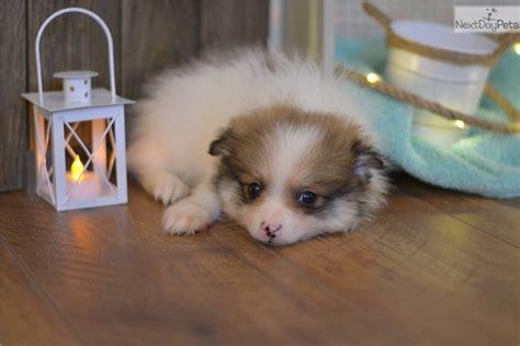 pomeranian puppies kansas city pomeranian puppy for sale near kansas city missouri