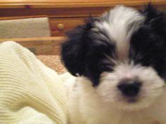 wral puppies 1000 images about black and white maltipoo puppies on maltipoo puppies
