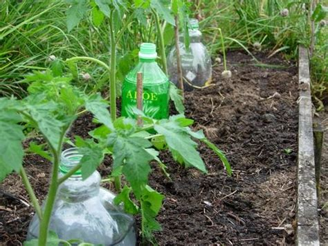 plastic bottle irrigation system great way to water the roots of your vegetable plants i m