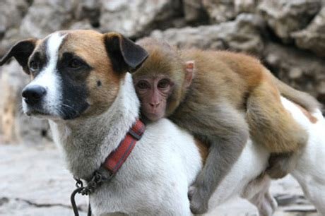 monkey and puppy monkey at zoo got bullied by other monkeys so they gave him a guard dogtime