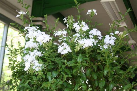 lotus garten hochheim gudruns k 252 belpflanzen seite 24 garten und fuchsienfreunde