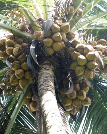 Harga Sabut Kelapa Kering varietas unggul kelapa puslitbang perkebunan
