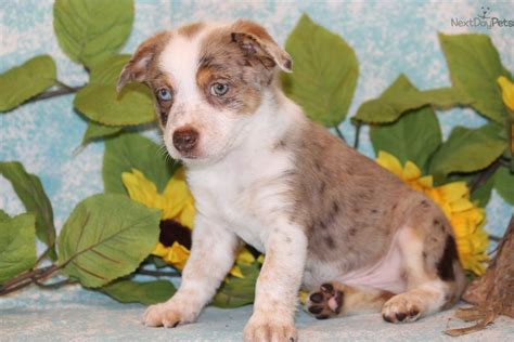 blue heeler puppies for sale in tn heelers for sale in tn myideasbedroom