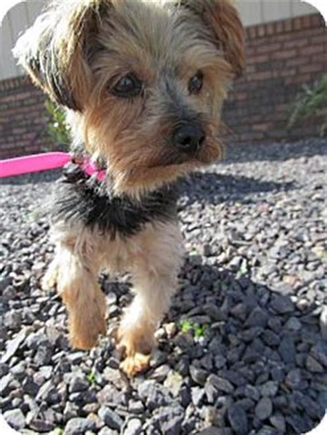 4 lb yorkie sassy 4 lb yorkie adopted 9133727 newburgh in yorkie terrier
