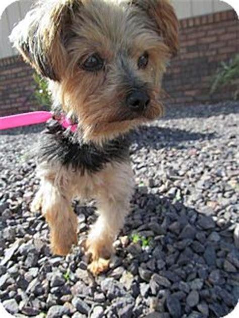 4lb yorkie sassy 4 lb yorkie adopted 9133727 newburgh in yorkie terrier