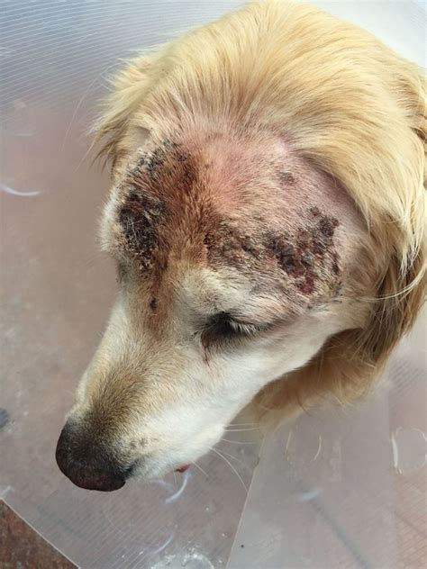 golden retriever skin golden retriever with recurring skin inflammation outbreak infection
