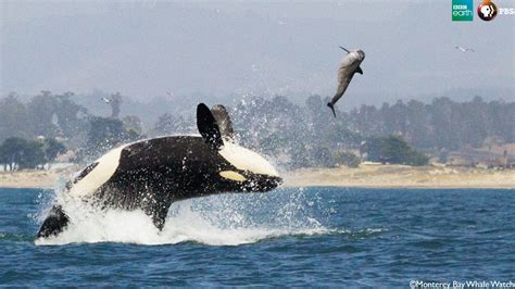 i bid live the orca hunt big blue live wpt