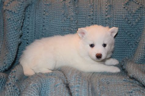 how much is a pomsky puppy how much is a pomsky puppy apps directories pets world