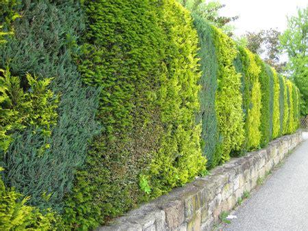 Kirschlorbeer Hecke Welche Sorte 2400 by Hecken Welche Sorten Gibt Es Garten