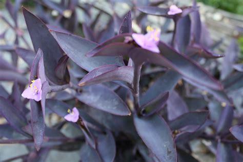 purple foliage plants purple donna s garden