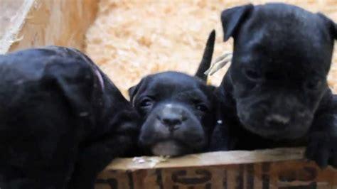mini pitbull puppies miniature pitbull puppies www imgkid the image kid has it