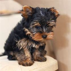 breeds that dont shed hypoallergenic dogs breeds