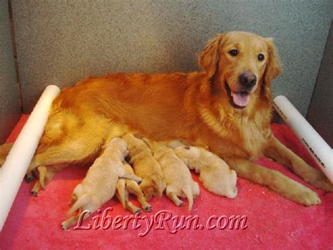 liberty run golden retrievers liberty run golden retrievers contact us