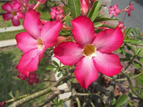 fiore oleandro piante fiorite piante da giardino piante che producono