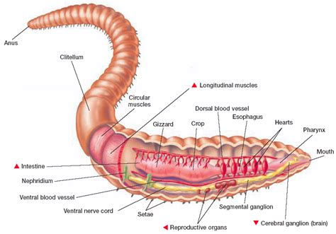 earthworm anatomy label the diagram answer key diagram of a earthworm with labeled parts earthworm parts and functions elsavadorla