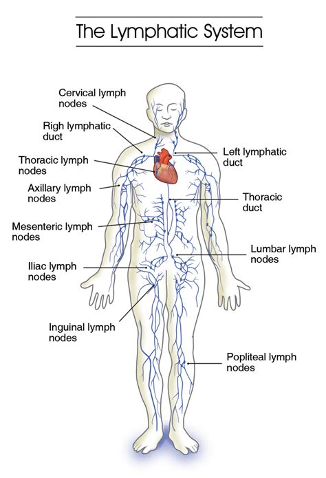 diagram of lymphatic system alberta lymphedema association a voice for lymphedema