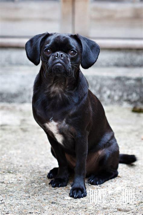 black pug cross pugs archives bone idol dogs
