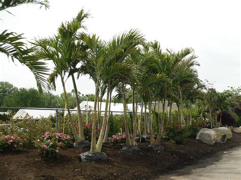 trees new jersey palm trees in new jersey palm trees at a nursery in