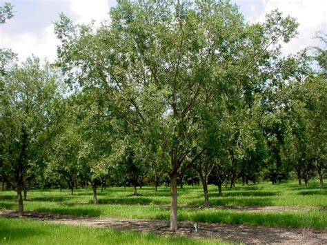 drake elm hickory creek nurseryhickory creek nursery